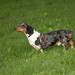 summer 06 long dachshund