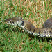 Snake in the grass.