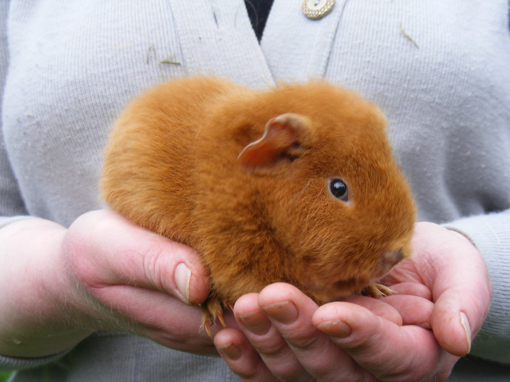 south park how to catch guinea pig