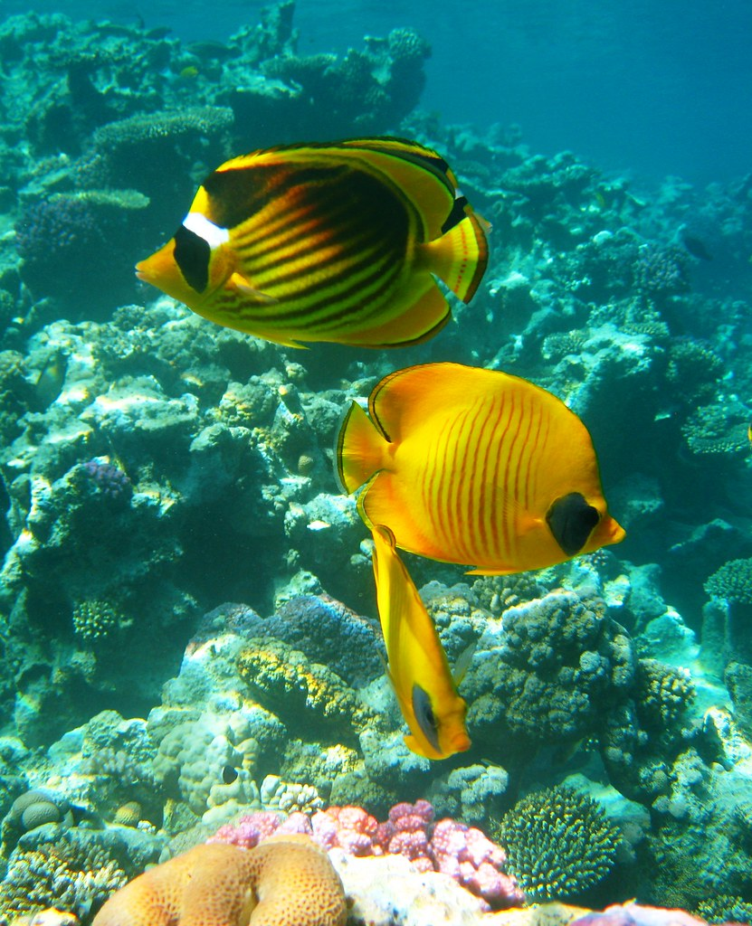 Think, Info on striped butterfly fish