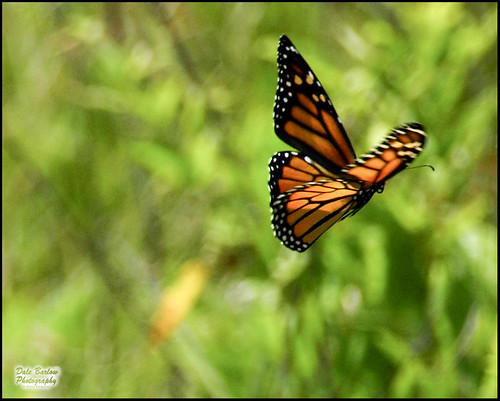 the flight of monarch butterflies Monarch butterfly counts can be compared to bird counts some regions in texas are located in the flight path during the migration and the patterns.