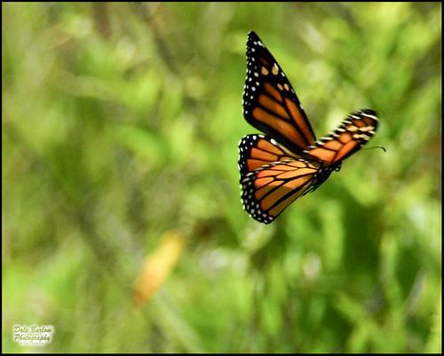 Monarch butterflies flying away - photo#6