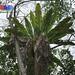 Bird's nest fern (Asplenium nidus)