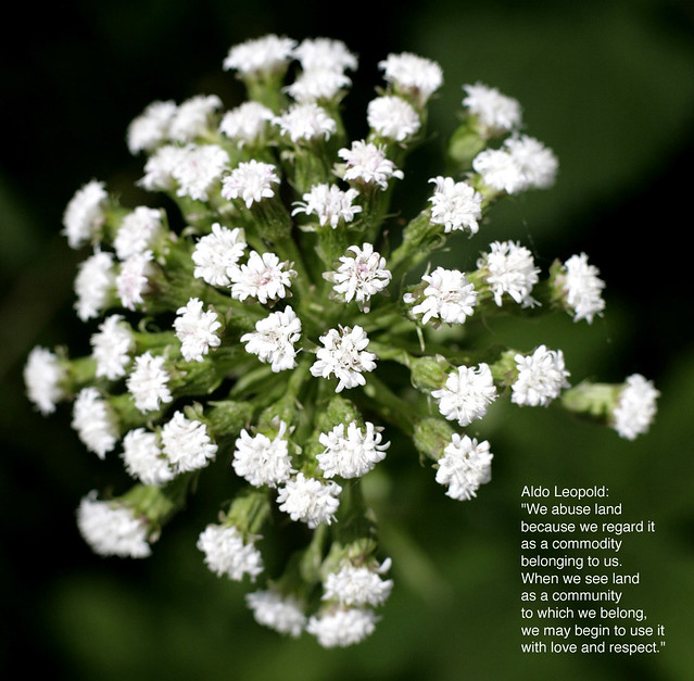Bursting white flower with quote by aldo leopold we abuse flickr bursting white flower with quote by aldo leopold by rwhitlock mightylinksfo