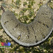 Garlic bread sea cucumber (Holothuria scabra)