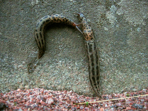 Two leopard slugs