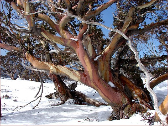 Snow Gums at Wallace's Hut