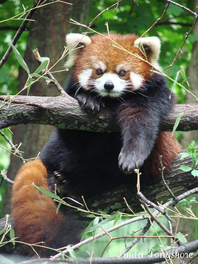 Red panda ailurus fulgens styani at binder park zoo flickr - Belle image animaux mignons ...