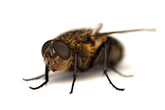 Housefly (Muscidae sp.)