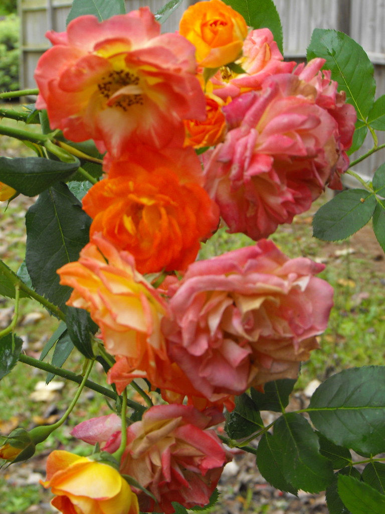 Coat Of Many Colors Rose Bush I Think It Is So Cool That