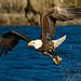 Eagle Fishing in Alaska