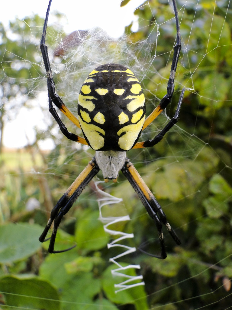 Black And Yellow Argiope Argiope Aurantia The Spider Spe Flickr