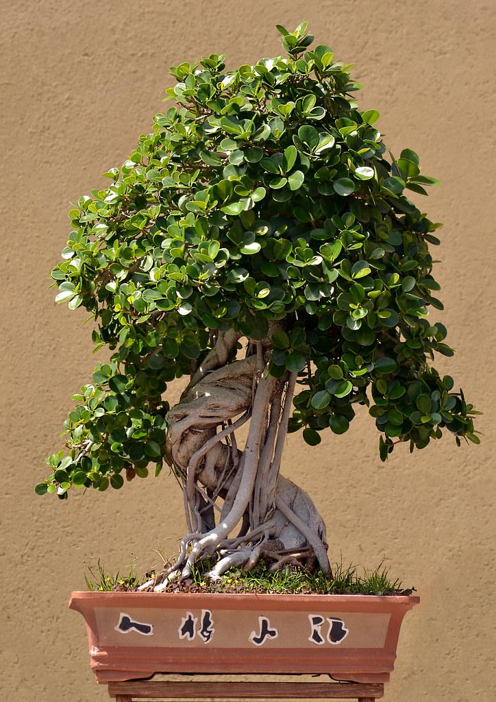 120 anni portati bene bonsai e 39 il bonsai piu for Dove comprare bonsai