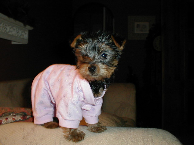 Yorkie In Pajamas Cosmops Flickr