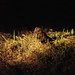 Dusky Nightjar