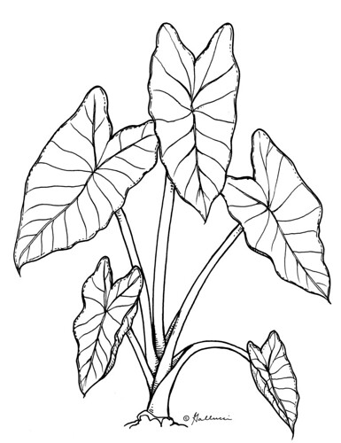 taro botanical drawings that i did for the national september clip art for church september clip art pictures
