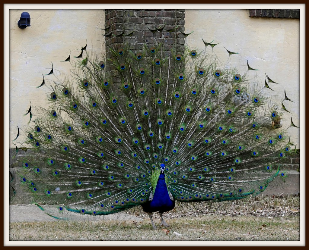 Essay On Peacock   Short Note On Peacock   Composition On Peacock