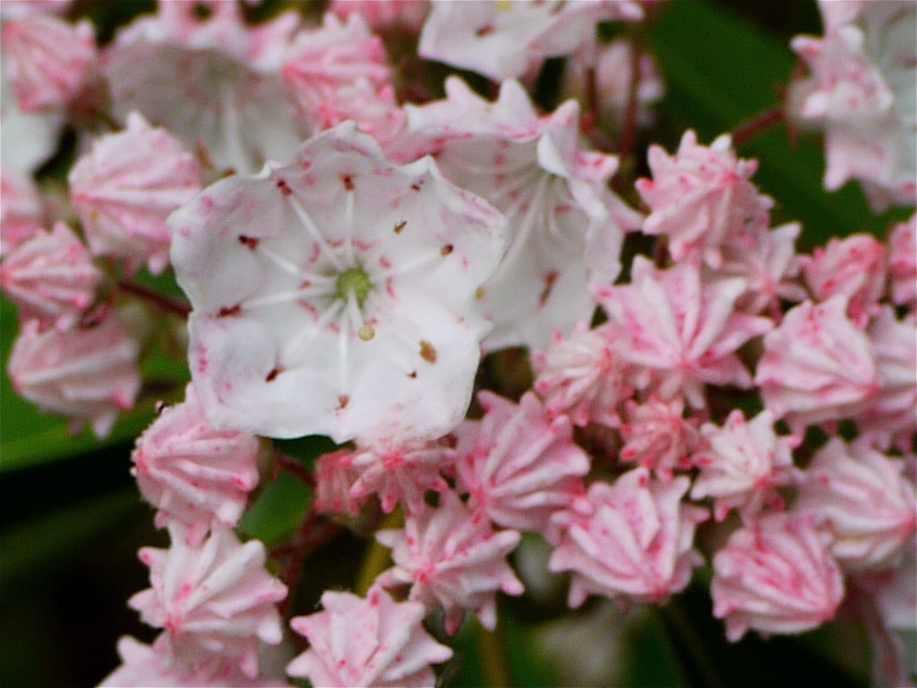Mountain Laurel PA State Flower Susan
