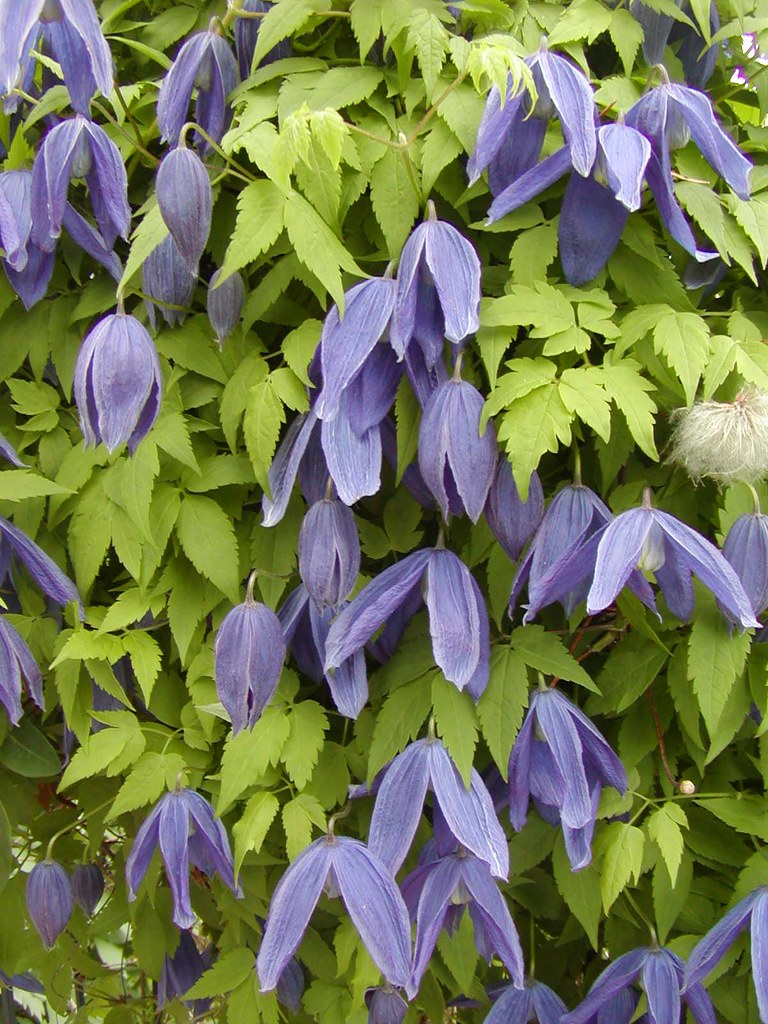 clematis alpina 39 pamela jackman 39 this plant blooms. Black Bedroom Furniture Sets. Home Design Ideas