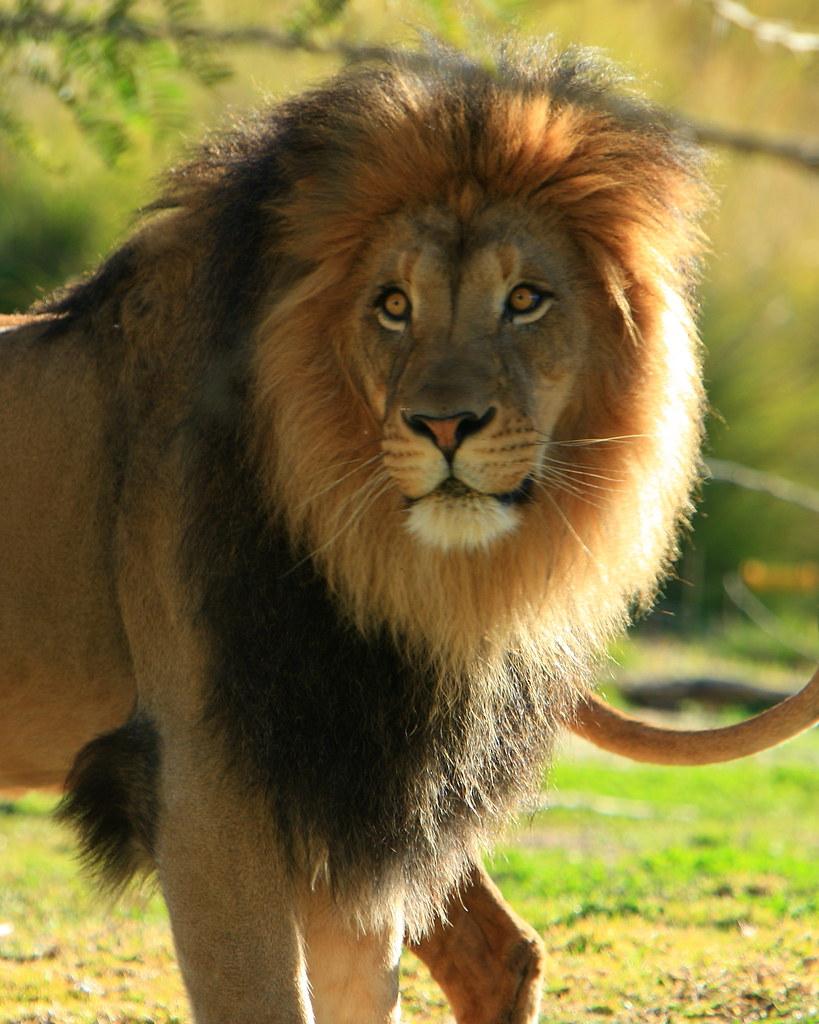 B Mobile Mountain Lion Lions & Lion Cubs ...