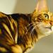 Golden cat