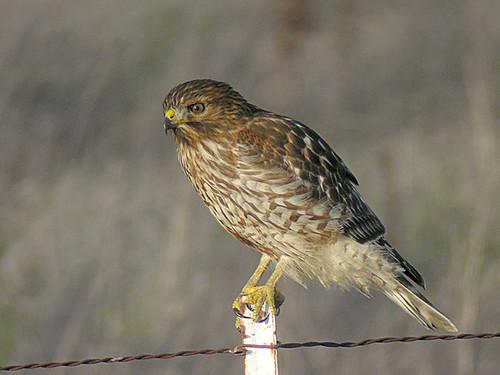 redshouldered hawk juvenile typical juvenile red