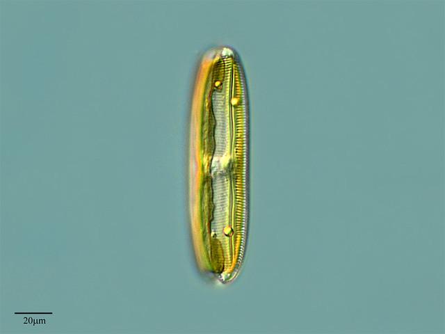 Resultado de imagen de diatomea
