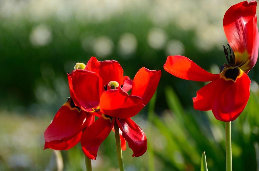 rote verbl hte tulpen tulip verbl hte rote tulpen im. Black Bedroom Furniture Sets. Home Design Ideas
