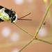 Eucerine Bee