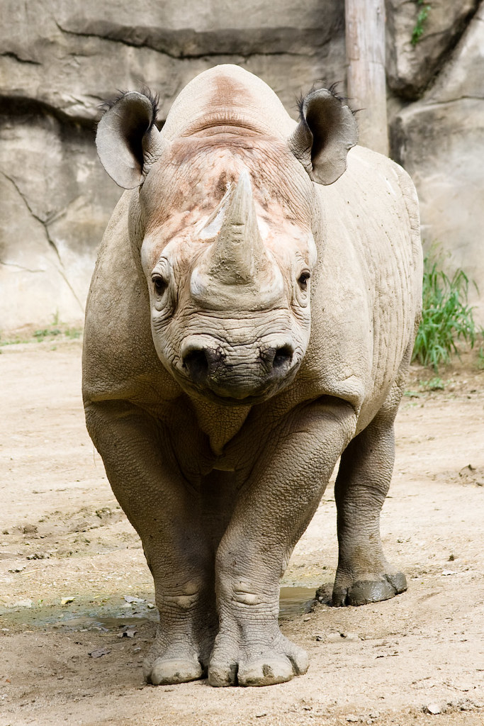 Black Rhino Exhibit Museum Of Natural History