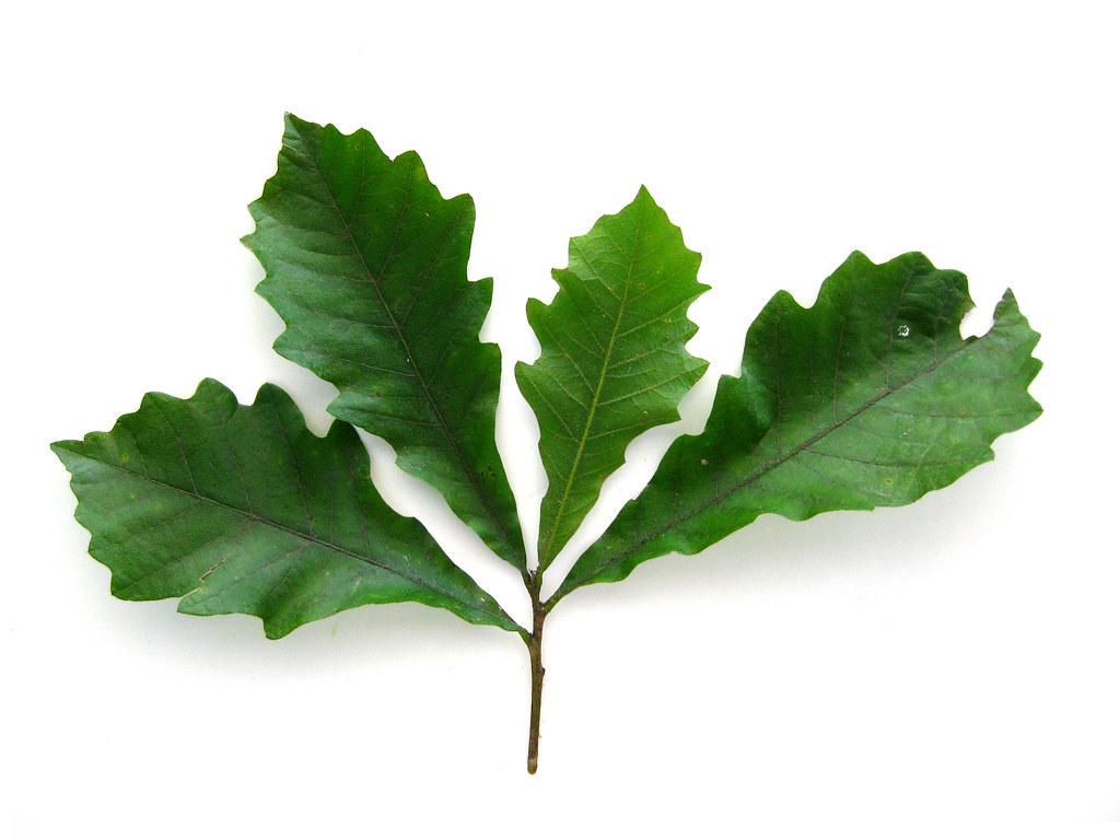 Quercus bicolor swamp white oak leaves virens latin