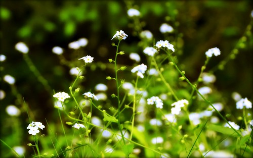 Bokeh - Flowers - Forget-me-nots | by blmiers2