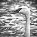 Abstract Mute Swan (BW)