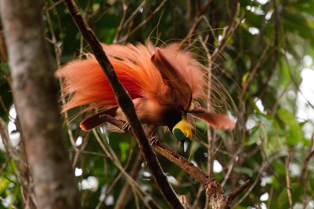Raggiana bird of paradise - messe-portal info