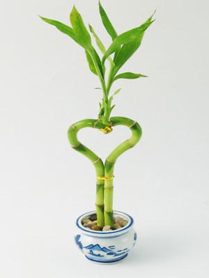 Lucky Bamboo Arrangement - Heart Shaped Lucky Bamboo from ...