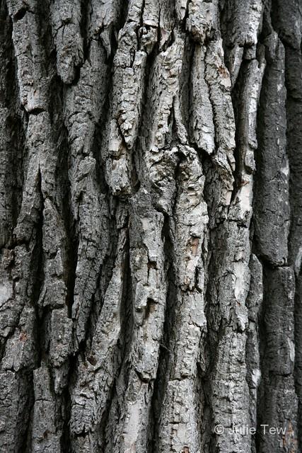 Eastern Cottonwood Bark | Populus deltoides, such a big