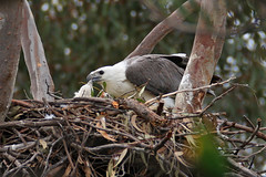 Male No.1 Feeding Eaglet, 4th September
