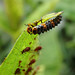 Aphid Eater