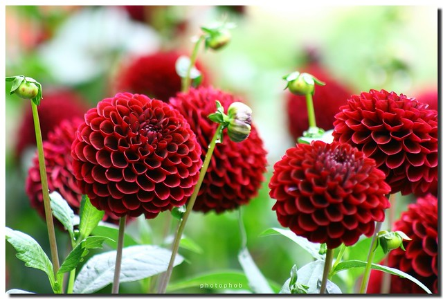 pompon dahlia ball dahlien photophob flickr. Black Bedroom Furniture Sets. Home Design Ideas