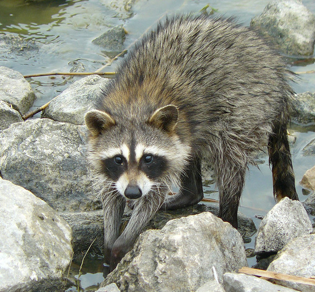 Raccoon Quivira Nwr Kansas Here Is A Raccoon Procyon Lo Flickr