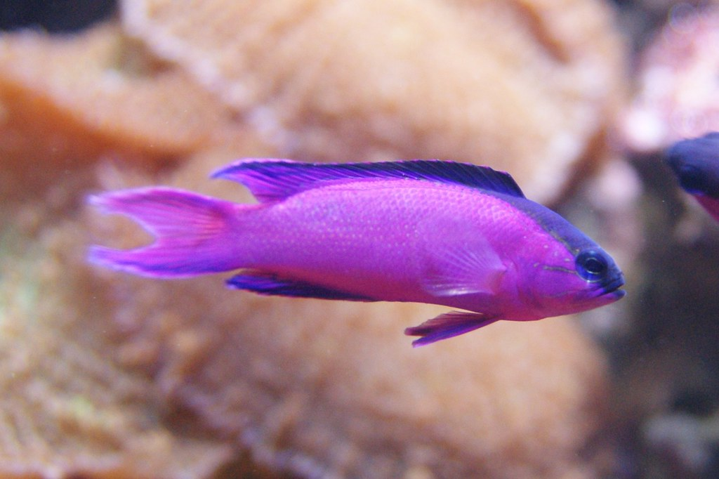 Berlin zoo purple fish berlin zoo purple fish flickr for Purple saltwater fish