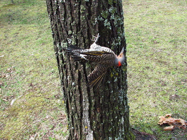 Tangled Northern Flicker