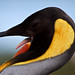 King Penguin Tongue!