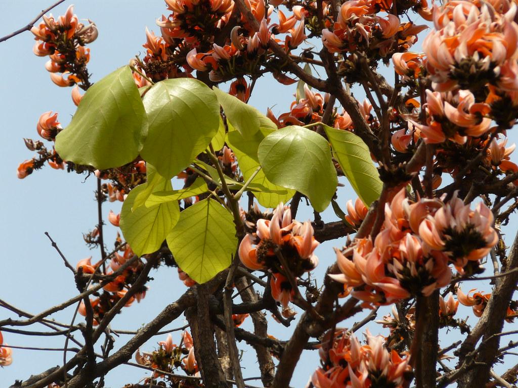 Palash (Gujarati: પલાશ) | Palash (Hindi: पलाश) is the ... Palash Flower In Hindi