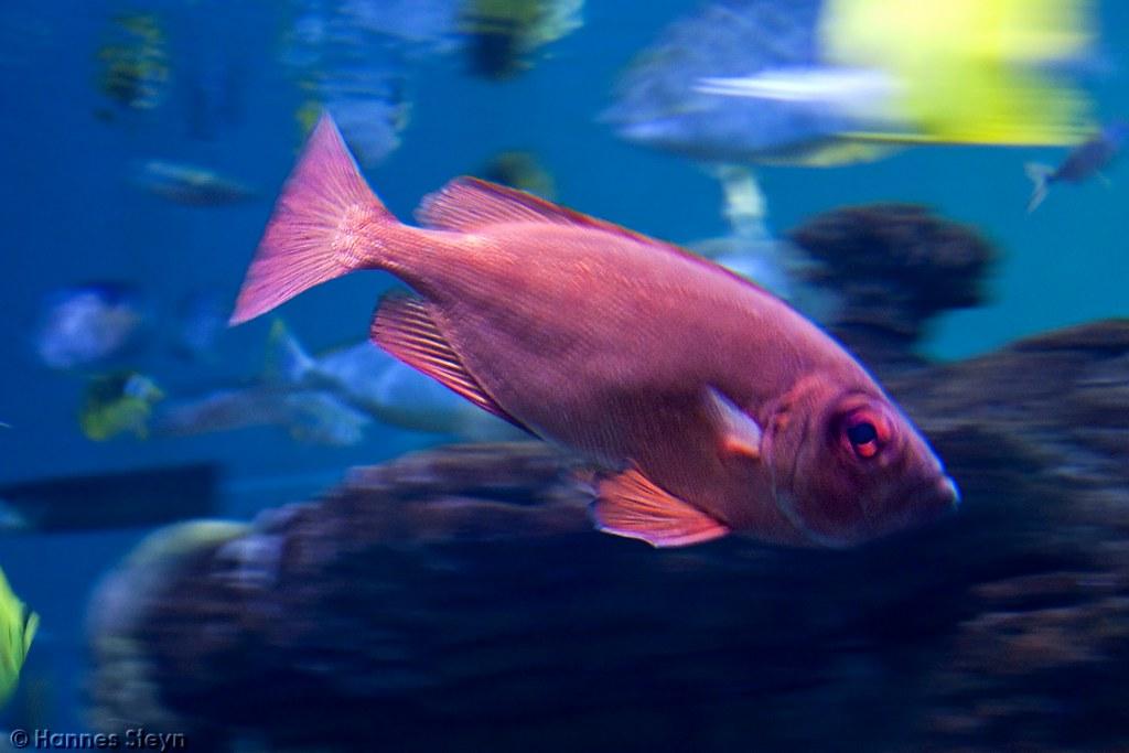 Pink fish ushaka marine world hannes steyn flickr for Pink saltwater fish