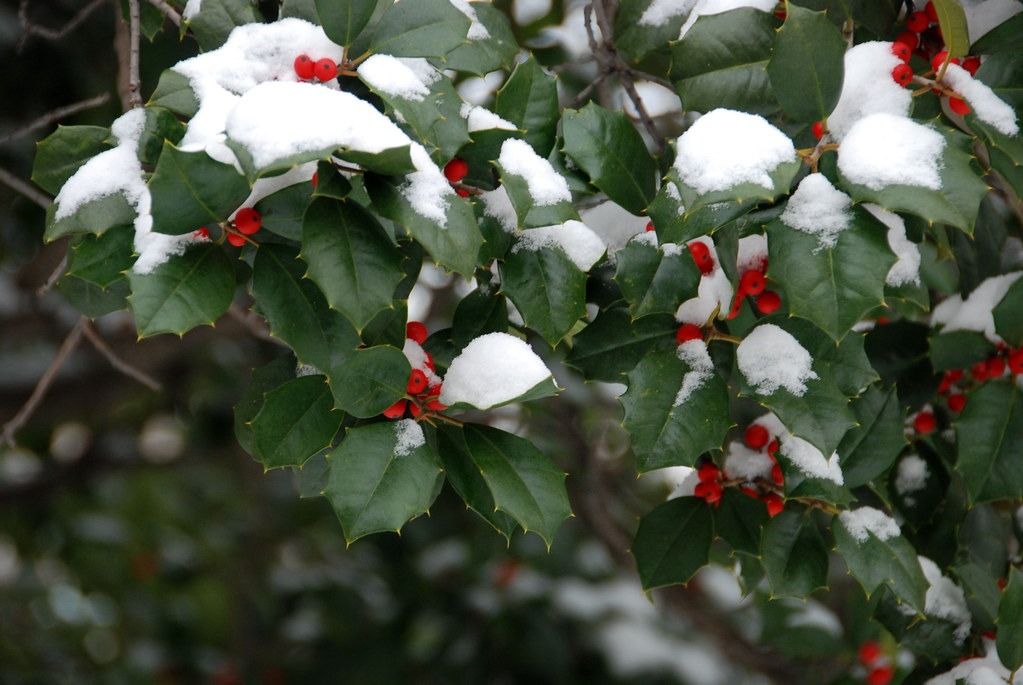 Snow On What I Believe To Be A Holly Tree
