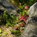 Stapelia schinzii var. schinzii flowering in habitat