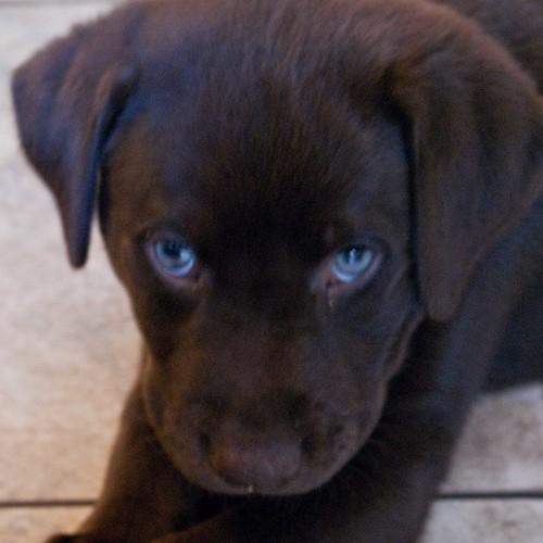 Chocolate labrador retriever with blue eyes