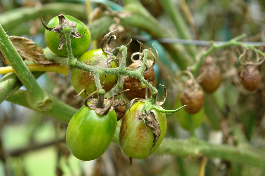 how to get rid of tomato blight