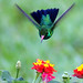 Beija-flor - Colibri - Besourinho-de-bico-vermelho - Chlorostilbon lucidus